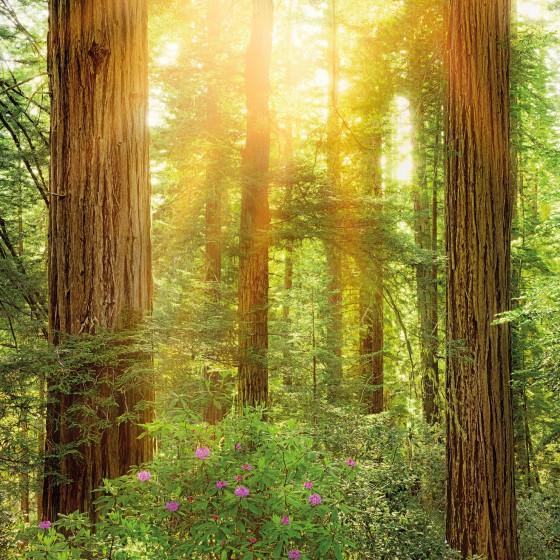 Fototapeet Stefan Hefele - Redwood SH019-VD2