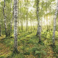 Fototapeet Stefan Hefele - Birch Trees SH043-VD4