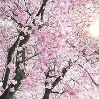 Fototapeet Stefan Hefele - Bloom SH083-VD4